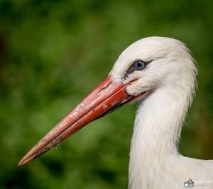 NaturOparC - photo cigogne